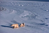 Polar Bear mother & cubs on the shore of Hudson Bay. Cape Ch