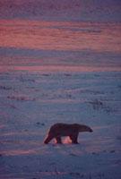 Polar Bear walks in blowing snow at sunset. Cape Churchill,