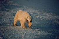 A Polar Bear treads carefully over new sea ice. Cape Churchi