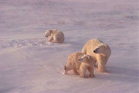 Polar Bear mother and cubs face the driving snow. Cape Churc 22001000276| 写真素材・ストックフォト・画像・イラスト素材|アマナイメージズ