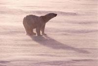 Polar bear walks across sea ice in a wind,snow blows aroun 22001000278| 写真素材・ストックフォト・画像・イラスト素材|アマナイメージズ