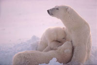 Polar Bear mother nurses her cubs-of-the-year with her back