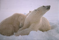 Polar bear mother sniffs the air for danger as her cub nestl