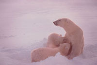 Polar Bear mother nurses her cubs-of-the-year in a wind. Cap