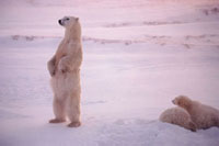 Polar Bear mother stands to check a threat to her two cubs.