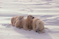 Polar bears cubs shelter from the wind behind their mother.