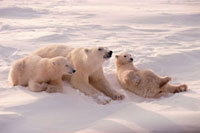 Polar Bear mother and cubs sprawl together in the snow after