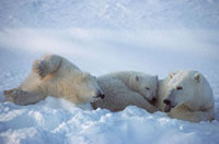 Polar Bear mother and cubs in the snow. Cape Churchill,Can