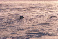 Polar bear walking across sea ice in a wind,backlit snow b