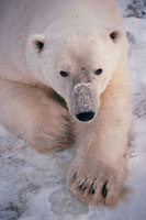 Adult male Polar Bear,his head slightly scarred by fightin
