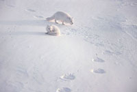 Arctic Foxes cross & recross the tracks of a Polar Bear. Chu