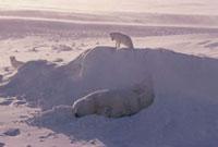 Arctic fox looks down from a snow bank onto a sleeping Polar