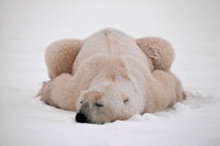 A Polar Bear gets covered in snow as he sleeps. Cape Churchi