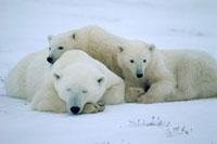 Polar Bear mother with her cubs-of-the-year. Churchill,Man 22001000305| 写真素材・ストックフォト・画像・イラスト素材|アマナイメージズ