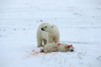 Polar Bear mother stands over her mauled cub,it was attack