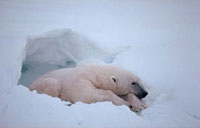 Adult male polar bear in a deep day bed he has dug for himse