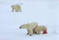 Polar Bear mother shields her already mauled cub from the la
