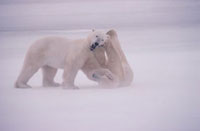 Adult male Polar Bears playfighting in a blizzard,obscured
