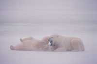 Two adult male Polar Bears play fight in the driving snow. C