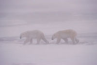 Adult Polar Bears walk across the snow in a blizzard obscure