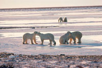 Pairs of male polar bears play fight on the frozen tundra at