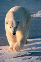 Curious male Polar Bear strides towards the photographer. Ca