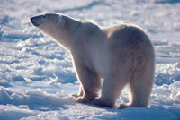 Rim lit Polar Bear lifts his head to catch a scent. Cape Chu