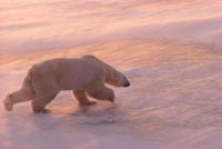 Polar Bear runs over sea ice in blowing snow at sunset. Cape