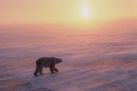 Polar Bear walks over sea ice in blowing snow at sunset. Cap