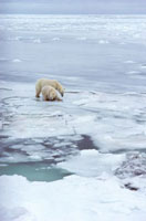 Polar Bear mother and cub on new sea ice. Churchill,Canada