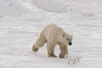 Polar Bear chases an Arctic Fox that has come too close! Chu