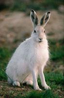 Arctic Hare,Lepus arcticus in summer coat,Ellesmere Isla