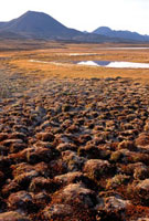Tussocks on summer tundra at Lake Hazen. Ellesmere Is Nation