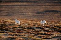 Arctic Hare on autumn tundra. Ellesmere Island,Nunavut,C 22001000344| 写真素材・ストックフォト・画像・イラスト素材|アマナイメージズ