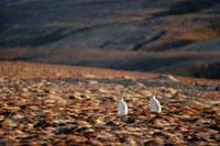 Arctic Hares,Lepus arcticus on autumn tundra. Ellesmere Is 22001000345| 写真素材・ストックフォト・画像・イラスト素材|アマナイメージズ