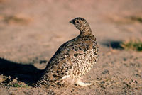 A Rock Ptarmigan (Lagopus mutus) on the summer tundra. North