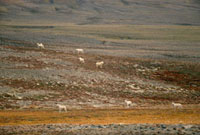 Polar wolves,Canis lupus arctos on autumn tundra. Ellesmer