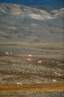 Pack of white Polar wolves on autumn tundra. Ellesmere Islan