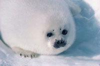 White coated baby Harp Seal on the sea ice. Canadian Maritim