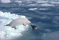 Harp seal pup on the sea ice anxiously watches its mother in