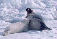 Harp seal pup on the sea ice nurses from its mother. Canadia