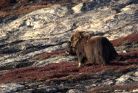 Lone Musk Ox Bull stands amongst autumnal Blueberry bushes o