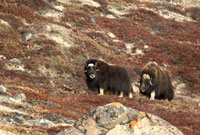 Bull Musk Ox stays close to one of his cows during the autum