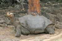 Giant Tortoise �fLonesome George�f Geochelone elephantophus