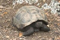 Galapagos Giant Tortoise. G.e. vandenburgi,from the Alcedo