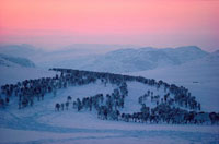 Reindeer migrate through the Kildal Valley to summer pasture