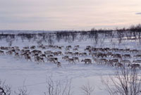 Lines of reindeer follow the prints of the animal ahead on t