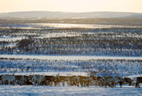 A Saami reindeer herd on the tundra at their winter pastures