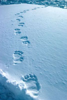 Polar Bear tracks in snow,on the sea ice of Melville Bay.
