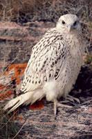 A young Gyr Falcon (Falco rusticolus). Northwest Greenland.